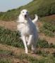 Шелковистый виндхаунд (шелковистый уиппет, виндхаунд, малая псовая бор