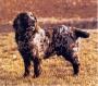 Вахтельхунд (Немецкий Спаниель, Немецкая перепелиная собака)