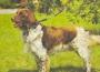 Малая мюнстерлендерская легавая (Малый Мюнстерлендер)