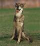 Саарлоос Вольфхонд (Саарлоосвольфхунд, Саарлосская Волчья Собака, Волч