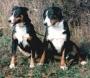 Аппенцелльская пастушья собака (Аппенцеллер Зенненхунд)