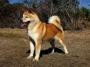 Хоккайдо (Хоккайдо-ину, хоккайдская собака, Айну, айну-кен)