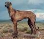 Африканис (львиные собаки)