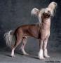 Африканская голая собака