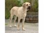 Бельгийский матин (Бельгийский Мастиф, Фламандская упряжная собака)