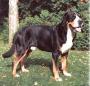 Большая швейцарская горная пастушья собака (Большой Швейцарский Зеннен
