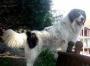 Боснийский торняк (Торньяк, Босне-Герцоговинная овчарка, Боснийско-Гер