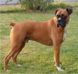 боксёр собака фото щенки цена