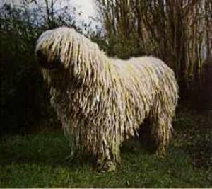 b60b35089ac9 Комондор (Венгерская Овчарка): фото, купить, видео, цена, содержание ...