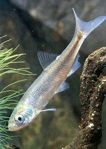 Верховки - стайные рыбки