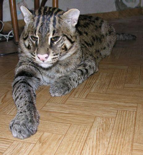 Куплю кота рыболова
