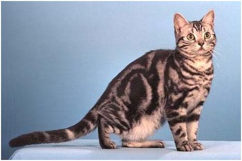 американская короткошерстная кошка цена фото