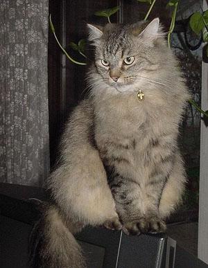 Сибирская коты фото цена