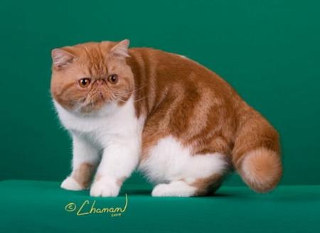 Шотландская кошка прямоухая скоттиш страйт описание