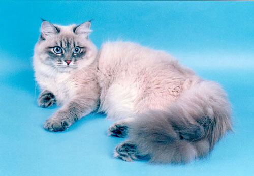 Коты невские маскарадные фото цена