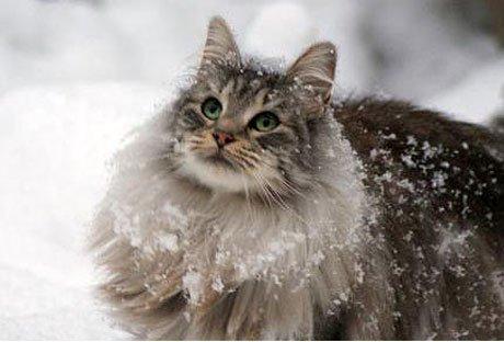 Цена на кота норвежская лесная