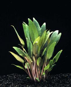 Криптокорина Пётча (Cryptocoryne petchii) -
