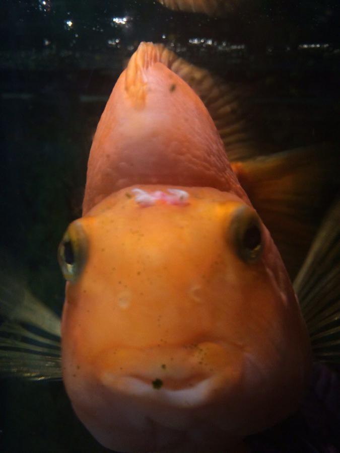 Рыбка болеет красное анальное отверстие респект