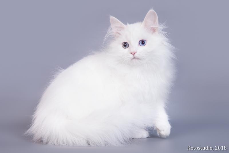 это такие сибирская белый котенок фото них кофенлу